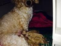 Full-Blooded RED Toy Poodle pups, gorgeous babies!!,