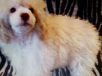beautiful poodle pups m&f cream/white m...blue f