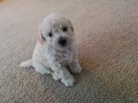beautiful poodle pups m&f cream/white m Green eyes.