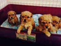 Full-Blooded RED Toy Poodle puppies, stunning infants
