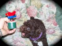 Stunning Toy Poodle Baby ! Only once in a while ! DOB