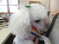 This little toy poodle is a rescue that someone had