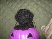 Smokie is a Black Toy Poodle puppy (with a white patch