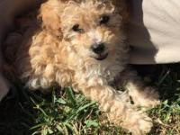 Puppy looking for forever home. Poodle toy teacup!