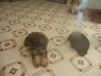 I have one lil baby tiny toy poodle who is in need of a