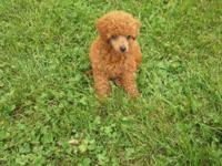 Ckc registered, Beautiful female red toy poodle. She is