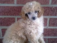 Ckc. Reg. Male apricot toy poodle. Ready for his new