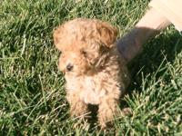 One Male Toy Poodle $500, One Female Toy Poodle $800.