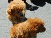 Gorgeous orange plaything poodles.(male & & female