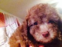 I have two male toy poodles they are nine weeks old