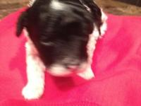 AKC toy poodle puppies.one male blk/wht celebration.