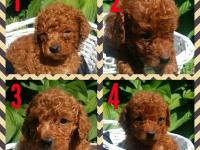 Beautiful red toy poodles. 4 males. Registered. Shots &