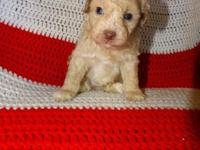 CKC toy and mini poodles-various colors-Vet checked and