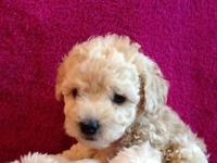 AREA: Mitchell, SD. A toy poodle can be a little