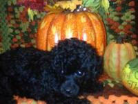 I have two Toy Poodle Puppies for sale. One Female and