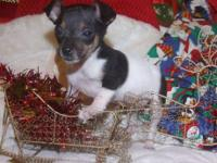 I have two adorable toy rat terrier babies ready for