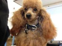 Kuma is a red toy poodle 6 lbs and 6inches high. He is