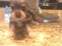Adorable schnauzer babies ready in 3 weeks. Will be