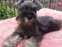 TOY SCHNAUZER. WILL CERTAINLY BE 8 to 10 LBS AT