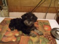 I have 3 male Toy Schnoodle puppies for sale, 14 wks