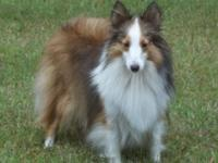 BAMBI is a darling little toy sheltie, practically 11