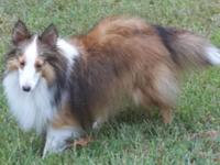 BAMBI is a beloved little toy sheltie, virtually 12