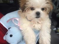 5 Month old Shih Tzu Male for $1200 or best