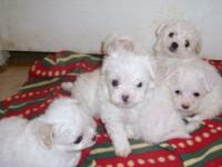 Lovely solid white Chipoos that are toy size, Existing