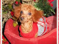 TOY SIZE CKC REG. FEMALE POODLE WITH PHANTOM MARKINGS,