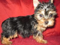 Home raised 6-month old yorkie female, she has been