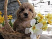 These Adorable Teddy bear faced Poodle puppies have