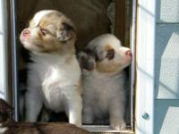 Toy & & Teacup Australian Shepherds. Blue merles and