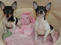 Adorable little Toy Terrier Males ... Pre spoiled and