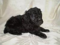 Gorgeous Toy, Tiny Toy and Teacup poodle puppies - CKC