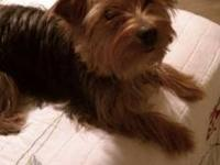 $300 O.B.O.........Adorable male toy yorkie/1 year old