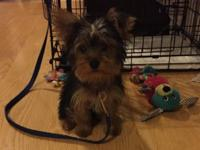 Lovable 4 month old toy size yorkie for sale. When