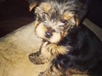 10 week old Toy Yorkie. Really loving. Requirements a