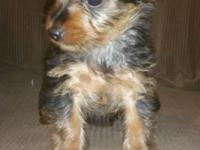 Female yorkie still looking for home.. she is very
