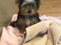 I have a one year old female toy Yorkie for sale. We