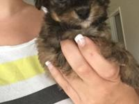 Really small 9 week old Yorkie poo puppy! She is all