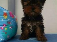 Beautiful ten week ckc registered Yorkie puppy. This