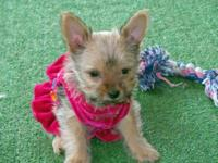 Adorable Toy size YorkiePom Puppies , Porkie. 1 Girl
