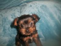 Beautiful small yorkies,  9 weeks old, CKC reg