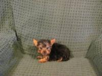 We have one very small Yorkshire Terrier Female puppy.