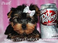 www.TinyYorkieKisses.com Kari   Looking for the perfect