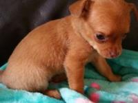 2 8 week old toy chihuahua puppies , 1 male 1 female