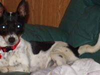 Toy Fox Terrier - Sara-amazing Personality - Small -