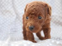 Sweet toy poodle puppies take reservation now.They can