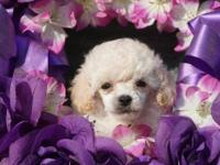 Beautiful baby doll faced white male Tiny toy poodle