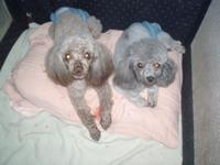 I have 2 Toy Poodle females, that I am providing to an
